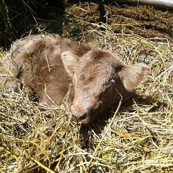 mini bull cow will not be for sale