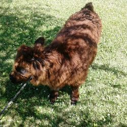 Hairy mini bull calf for sale,mini cows for sale