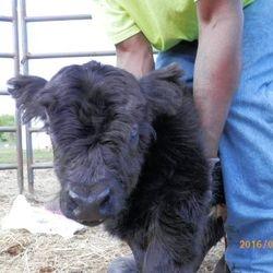 miniature bull for sale,mini cows for sale