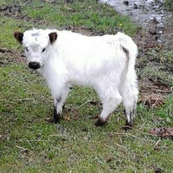 adorable mini cow for sale