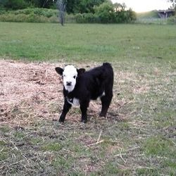 micromini cow for sale