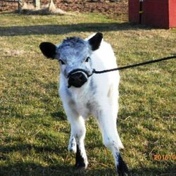 we have miniature cows for sale