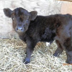 mini bull calf for sale,mini cows for sale