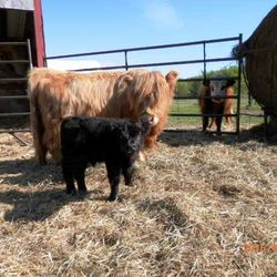 miniature  calf with cow,mini cows for sale