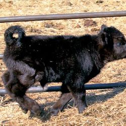 Running mini calf for sale,mini cows for sale