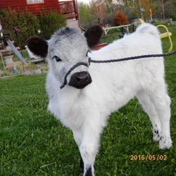 halter training miniature cows for sale