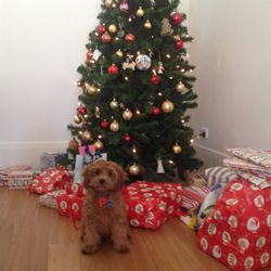 cavoodle puppy christmas