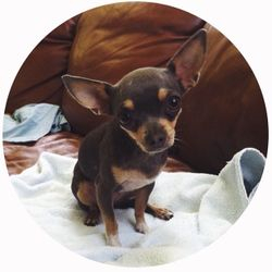 Indigo is a blue and tan female chihuahua we raised in our home :)