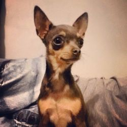 Indigo is a blue and tan female chihuahua that we raised in our home