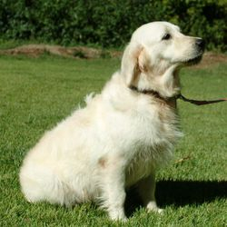 Elsie, English Creme Female bred to Abraham for Nov Litter