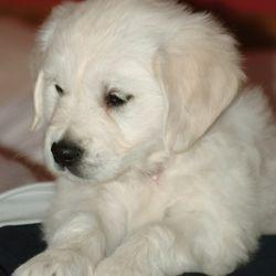 English Golden Retriever puppy