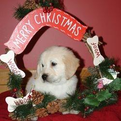 Risa's Goldens pup