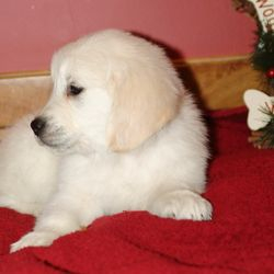 Risa's Golden Retriever puppy