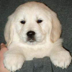 Risa's Golden Retriever puppy