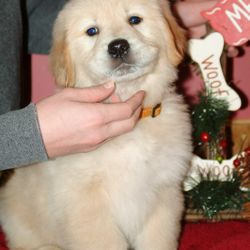 Risa's Goldens puppy