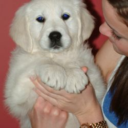 English Golden Retriever Puppy Kansas