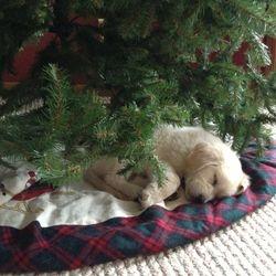 English Golden Retriever Puppy Kansas