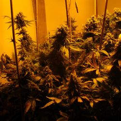 indoor grow with good potency
