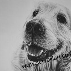 Golden Retriever portrait, pencil rendered artwork by Steve Lilly, stevelilart