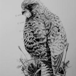 Kestrel, Art4Nature artwork by Steve Lilly, stevelilart