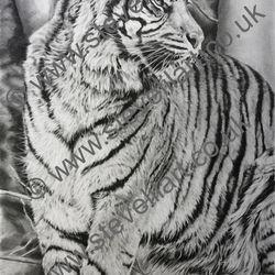 Tiger portrait by Steve Lilly