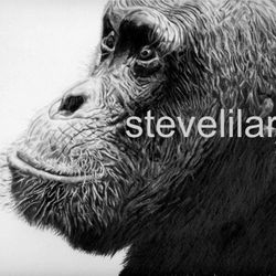 Chimp portrait by Steve Lilly, private commission