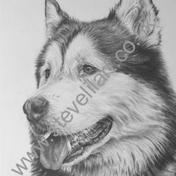 Malamute portrait by Steve Lilly, private commission