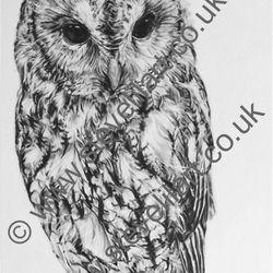 Tawny Owl portrait, pencil rendered artwork by Steve Lilly, stevelilart