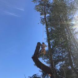 Tree climber Kody making quick work of this tricky pine tree over a lake!