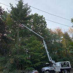 White Pine removal with bucket truck