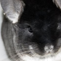 Black Velvet Female Chinchilla