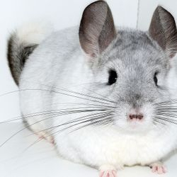 TOV White Female Chinchilla - Tiffany's Chinchillas