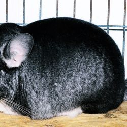 Dark Standard Gray Chinchilla