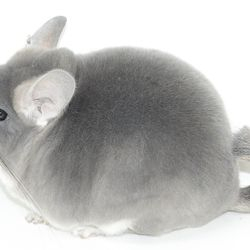 TOV Violet Show Quality Chinchilla