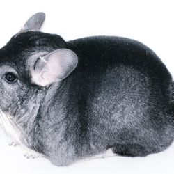 Standard Gray Show Quality Chinchilla