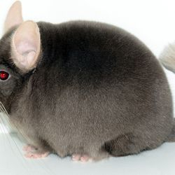 Top Show Quality Tan Chinchilla