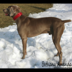 Brody(Sire) Owned by BLP Weimaraners