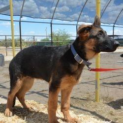 Sarge 18 weeks