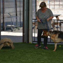 Kona was in a bad home, running from that home she lost her leg in a car accident. She was rehomed to an amazing person. She was not happy about the tortoise in social class.