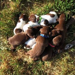 C Litter puppies!