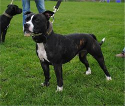 gr ch abbey staffordshire bull terrier
