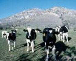 Organic Calf Starter