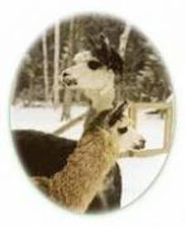 Northeast Alpaca and Llama? Free Choice Mineral