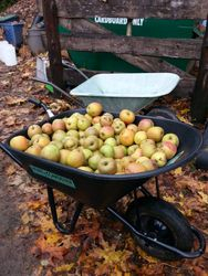 Wheelbarrows full of apples!