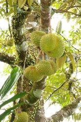 Durian Agro