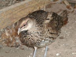 Breeder Hen