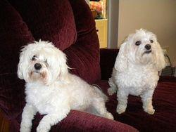 Our Beautiful Malteze Dogs