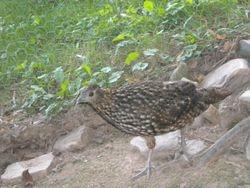 Tammy Our Breeder Hen