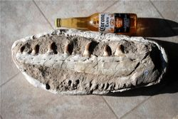 Mosasaur Jaw