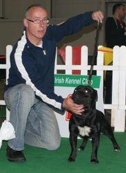 Junior Staffordshire Bull Terrier Class Winner